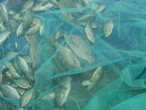 photo tilapia netted